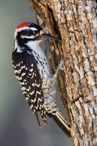 Woodpecker at nest hole