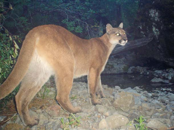 Puma in Ohlone Wilderness