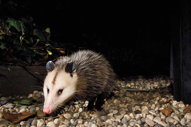 Opossum passing in the night