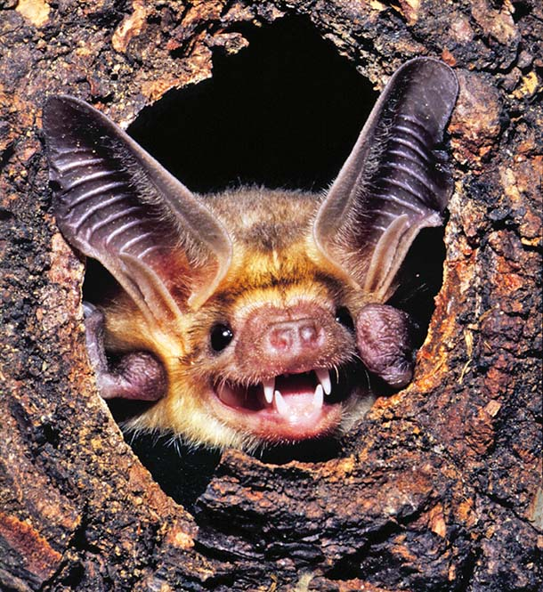 Pallid bat in tree cavity