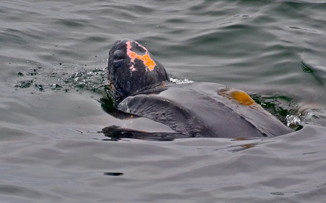With neon pink and orange markings framing its' crown, this Pacific Leatherback turtle stands out among the murky water. Photo credit: Blue Ocean Whale Watch (www.blueoceanwhalewatch.com)