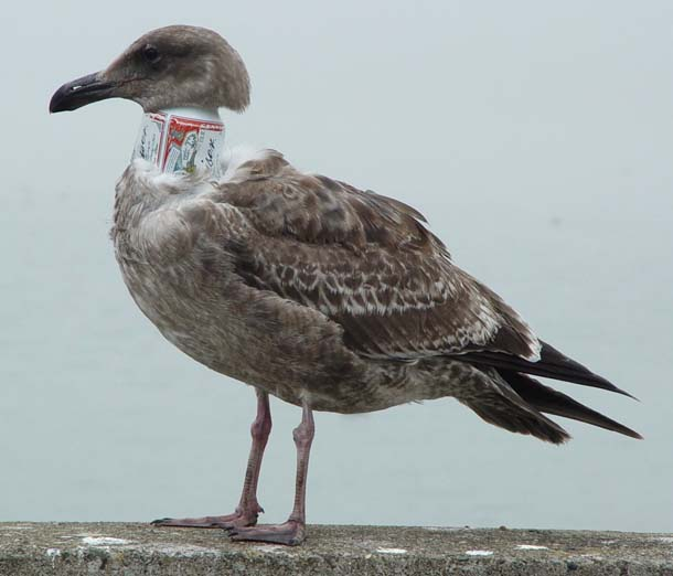 Beer can gull
