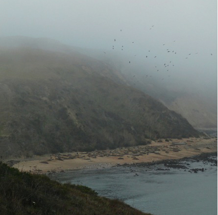 Point Reyes Elephant Seals