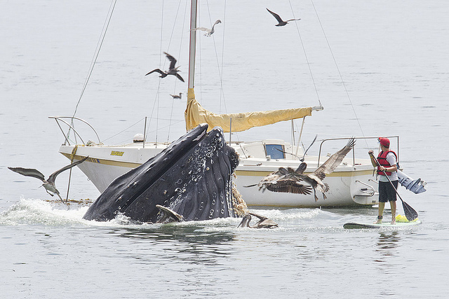 "Humpback Whale, Megaptera novaeangliae, feeding at a ""bait ball"" at Port San Luis, San Luis Obispo. Photo by Bill Bouton."