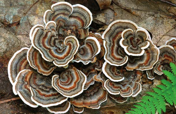 Turkey tails, tree parasites