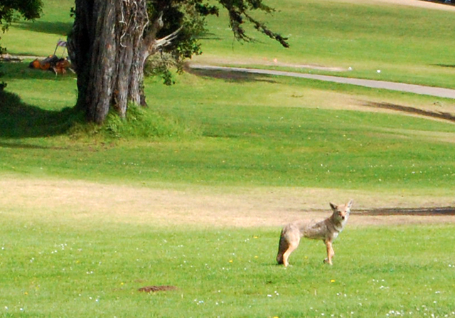 A coyote strolls around Lincoln Park Golf Course. Photo by Courtney Quirin.