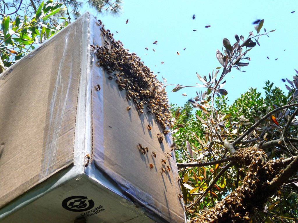 Bees fly into a box used to capture swarms. Photo by Charlie Blevins.