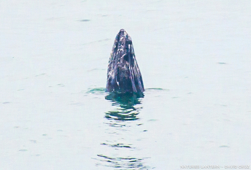 A gray whale was spotted frolicking right off Sutro Baths in San Francisco on Feb. 2. Photo: David Cruz.