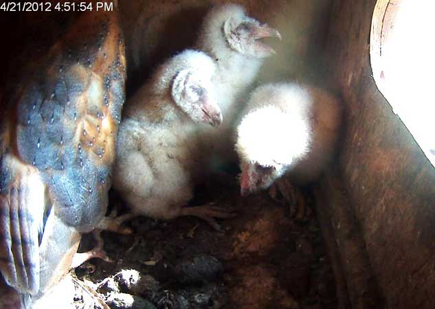 Video still of parent with three owlets. Photo: Sulphur Creek Nature Center