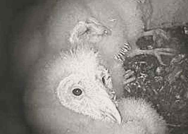 Video still of owlets. Photo: Sulphur Creek Nature Center