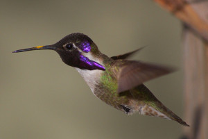 Costa's hummingbird, a Bay Area native. Photo: Christopher Fritz.