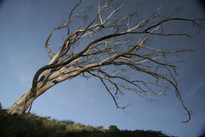 The iconic eucalyptus at the summit of windy Mount Davidson, before it toppled over. Photo: Irene/flickr.