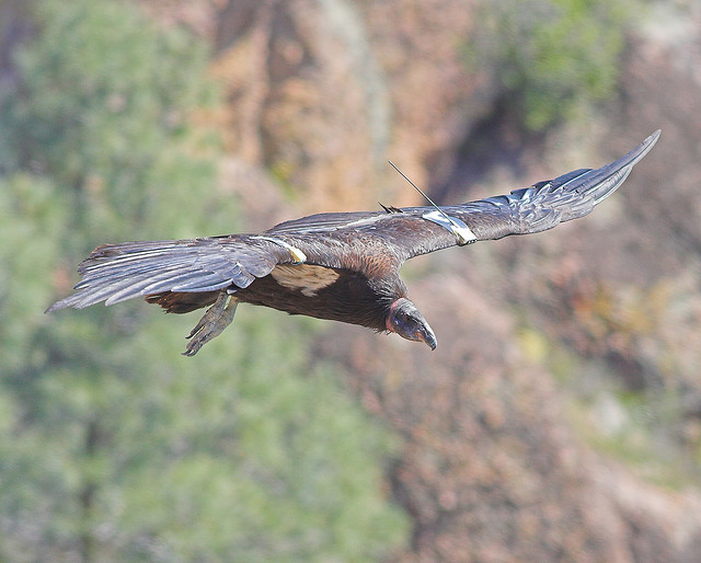 A California condor in flight over Pinnacles National Park. Photo: Jim Bahn.