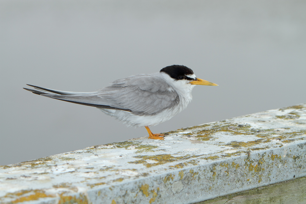 When the California Least Tern was listed as endangered in 1970, there were only 225 pairs remaining. Habitat protection, predator control and recreation management has allowed the terns to make a come back. Photo: Alan Vernon.