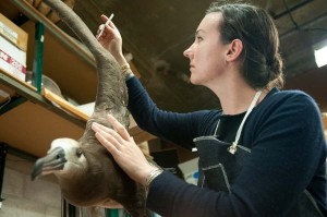 Taxidermist Alicia Goode prepares a black-footed albatross for the Cordell Bank section of the Gallery. Oakland Museum of California, 2012. Photo: Terry Lorant.