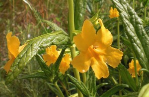 Sticky monkeyflower, photo by Marilyn Goldhaber
