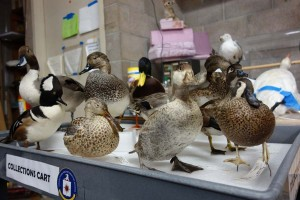 Ducks lined up awaiting the attentions of taxidermist Alicia Goode, who's worked on 75 to 100 specimens for the new gallery.