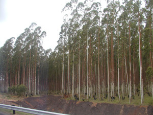 South African eucalyptus plantation, Creative commons photo by MeRyan