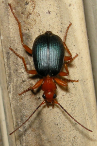 Bombardier beetle (Brachinus sp.). Photo: Siobhan Basile.