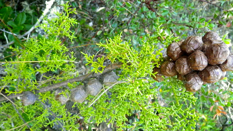 Santa Cruz cypress cones. Photo: USFWS Pacific Southwest Region.