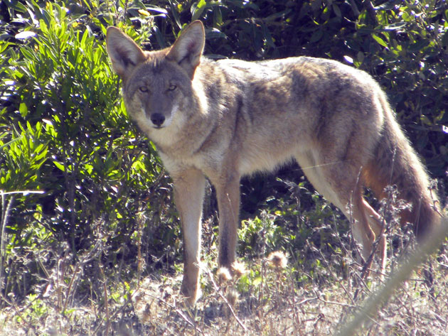 "Oscar Porter often ""talks"" to the coyotes in Mussel Rock Park to get their attention -- resulting in photos like this one. (Photo by: Oscar Porter)"