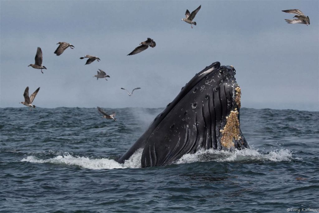 A humpback whale lunges for anchovies during a feeding frenzy. Photo: Tory Kallman