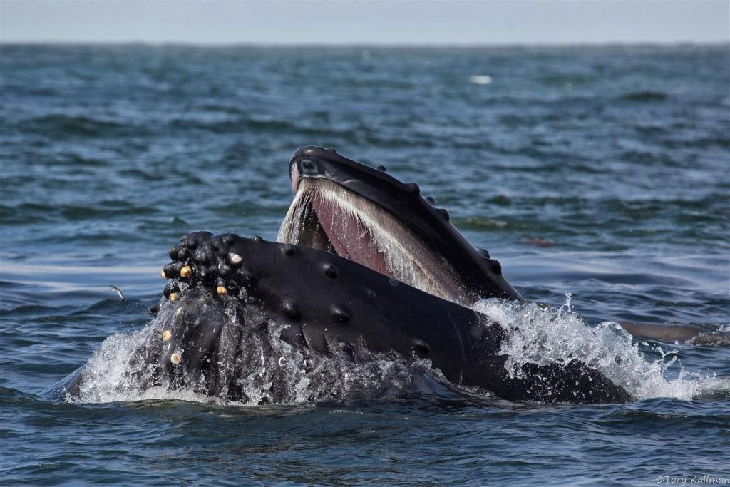 Humpback whales use their bristle-like baleen plates to filter out the water and eat the fish.