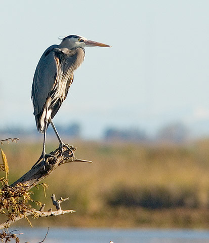 Great Blue Heron, Sacramento River Delta