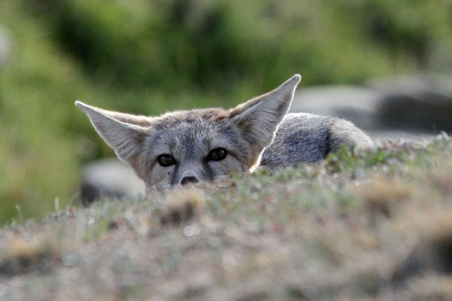 The endangered San Joaquin kit fox. Photo: Greg Schechter.
