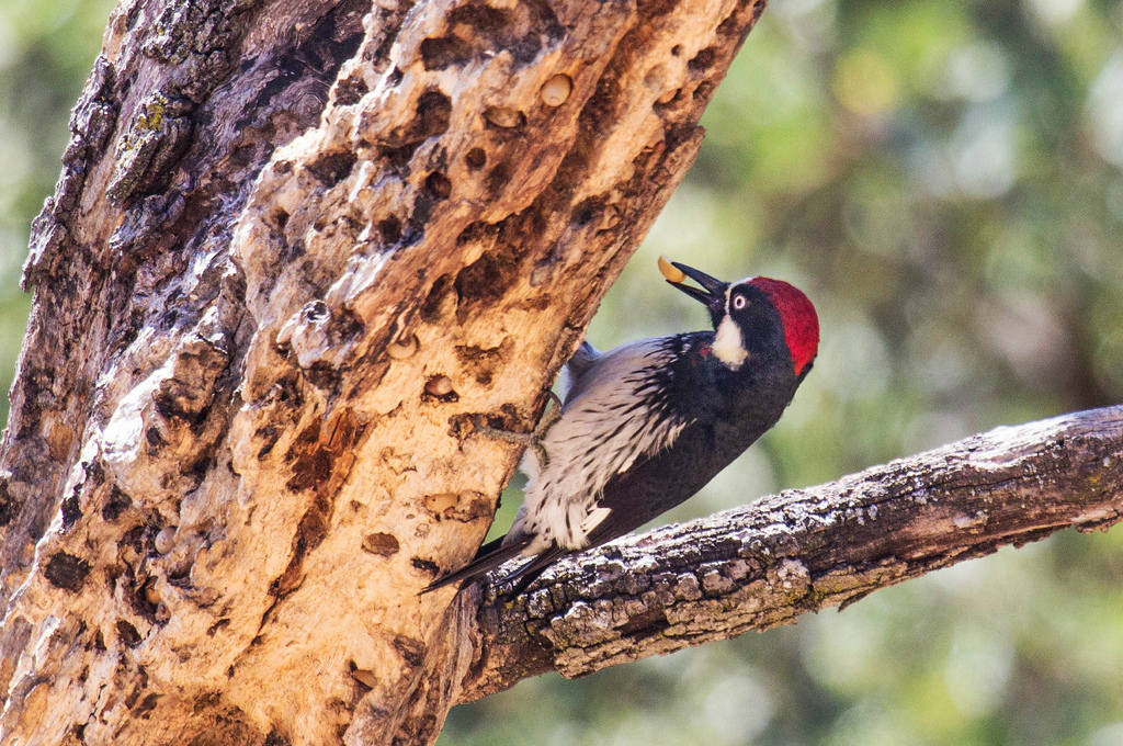 An acorn woodpecker story a found nut. Photo: Allan Hack.