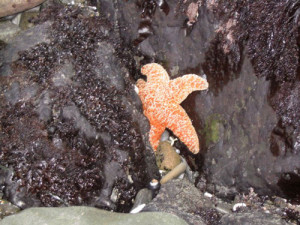 ochre sea star, Central Coast