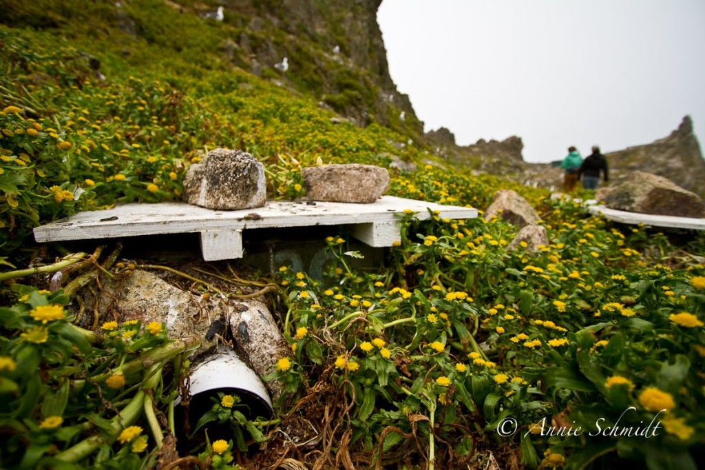 Lasthenia around an auklet nesting box. Photo: Annie Schmidt/Point Blue
