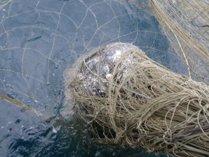 A gray whale was caught in a drift gillnet in 2013.
