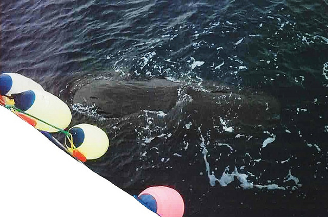 Since 2007, Sixteen sperm whales have been caught in drift gillnets off California waters. Photo: NOAA