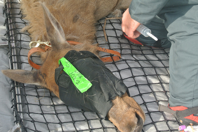 A hood was used to keep the elk calm for their safety as well as staff. Photo: CDFW