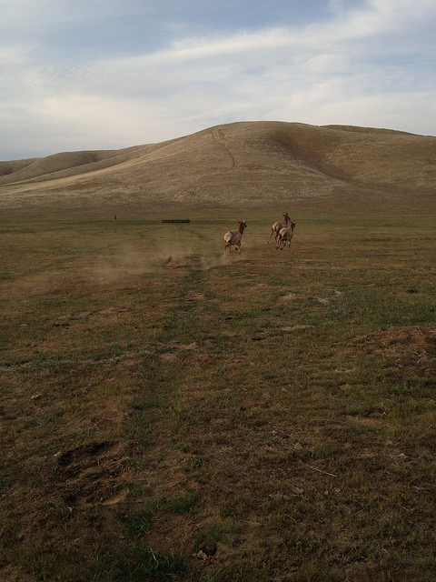Tule elk released on the Carrizo Plains Ecological Reserve in San Luis Obispo County. Photo: CDFW