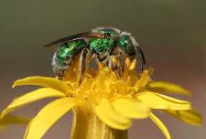 Green sweat bee (Paul G. Johnson)