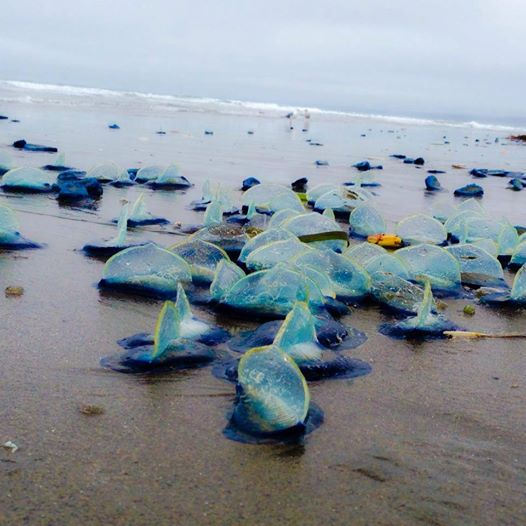 Vellela vellela - translucent blue jellyfish-like creatures - are sometimes found littering Bay Area beaches when the wind changes.