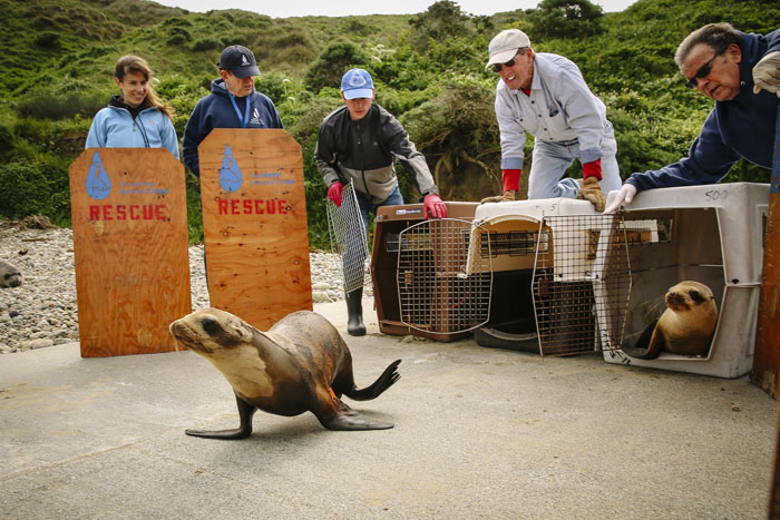 A rehabilitated sea lion makes its way back into the wild. (Photo by Jay Conner, courtesy The Marine Mammal Center)
