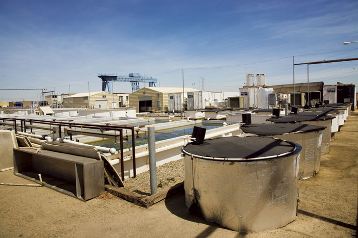 The UC Davis Fish Conservation and Culture Lab with its trailers, tanks, and pools for rearing smelt spans two acres near Byron, at the edge of the Delta. (Photo by Dale Kolke, California Department of Water Resources)